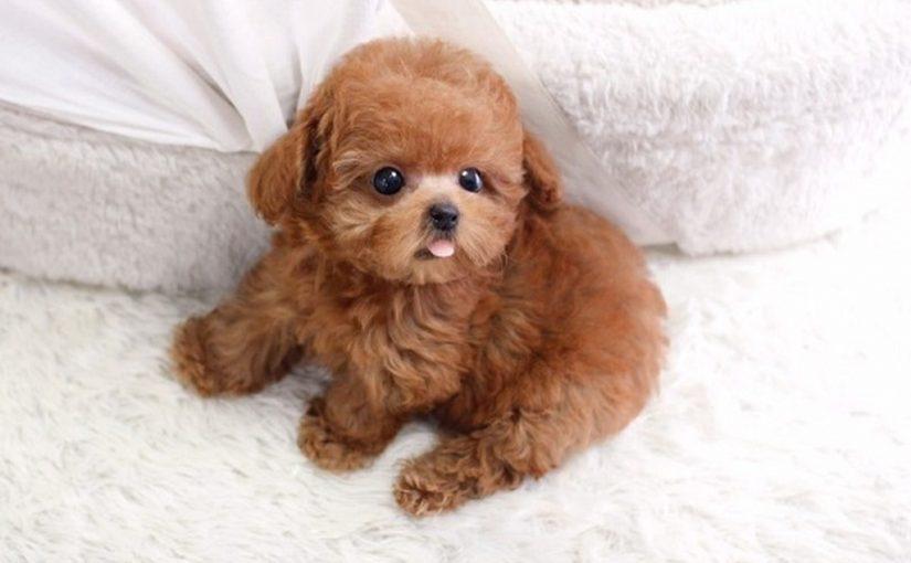 bi-quyet-cham-soc-long-cho-poodle-luon-mem-muot
