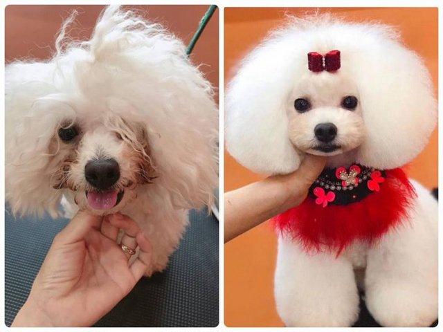 Hình ảnh của chú chó trước và sau buổi học cắt tỉa lông chó mèo